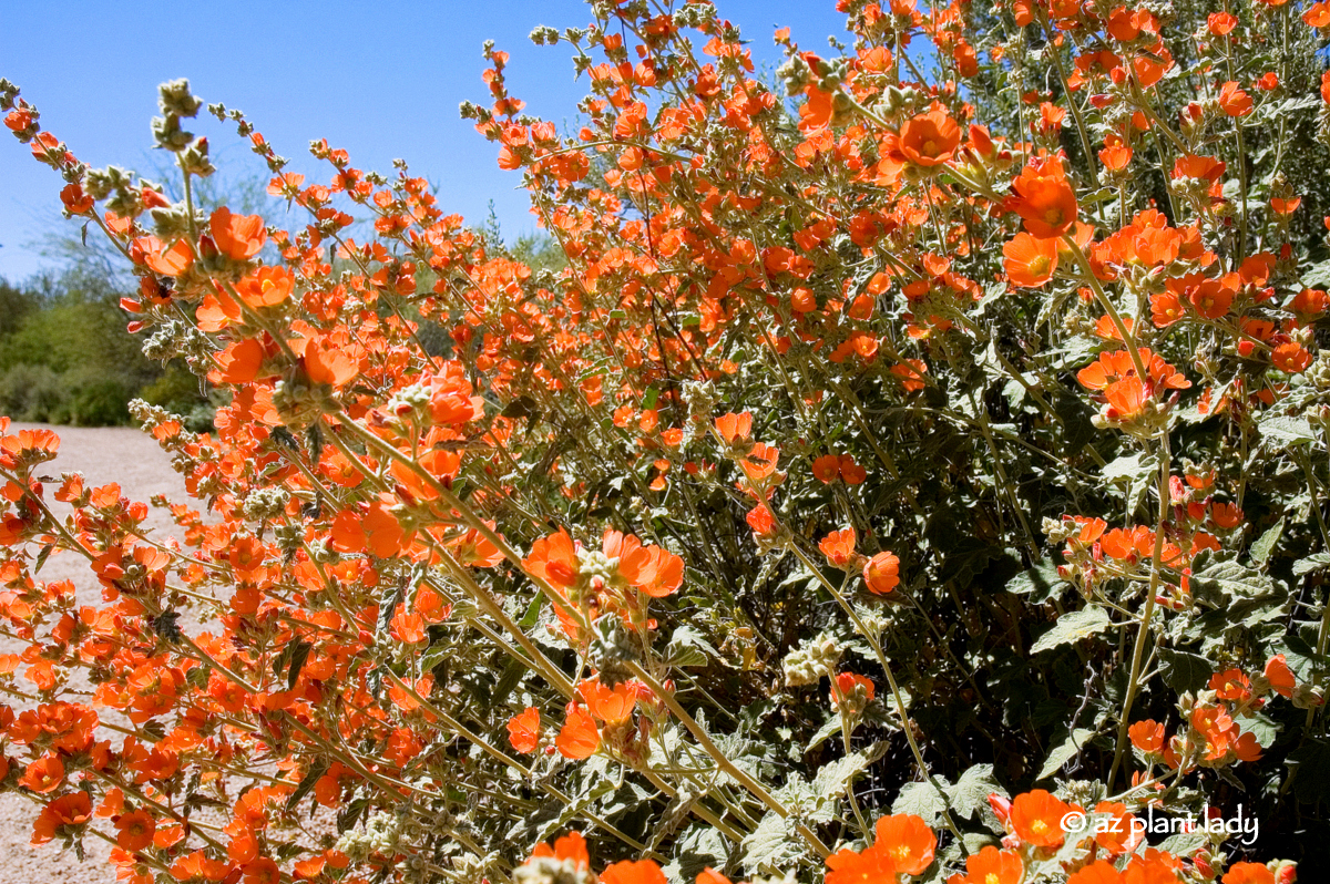 Drought Tolerant And Beautiful Globe Mallow Ramblings