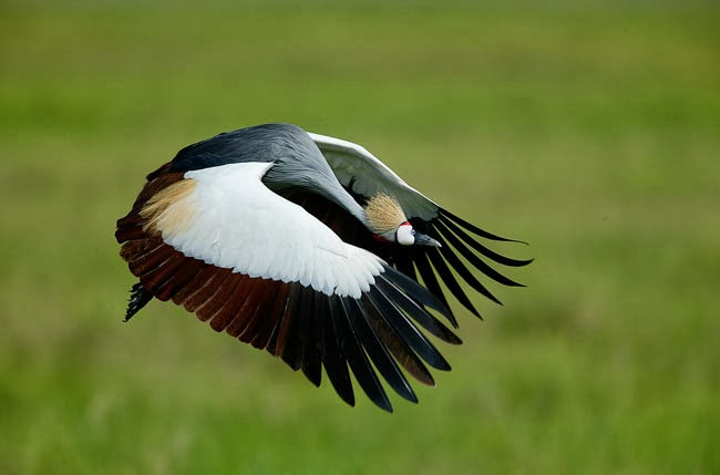 Crowned crane flying
