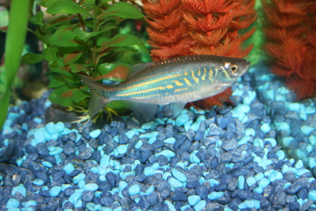 Giant danio fishes world hd images free photos for Giant danio fish
