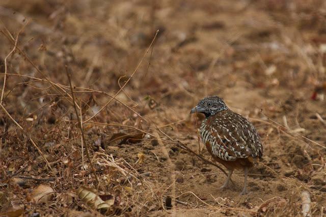 A photograph of a barred button quail taken in Yala, Sri Lanka