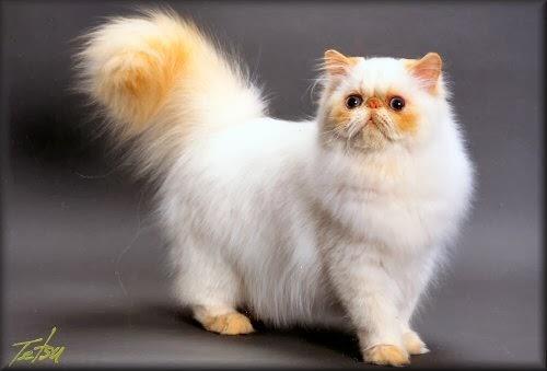 Cara Merawat Hewan Hias Cara Merawat Kucing Persia