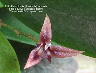 Anathallis modesta do blogdabeteorquideas