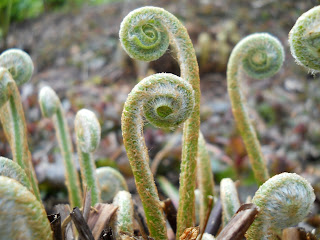 Emerging fern fronds