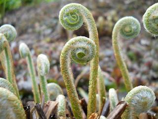 Emerging fern fronds