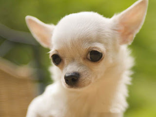 Chihuahua dog mini puppy pets wallpaper