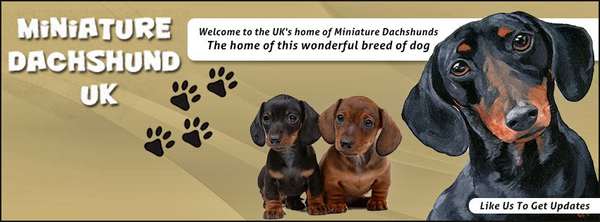 Miniature Dachshund UK