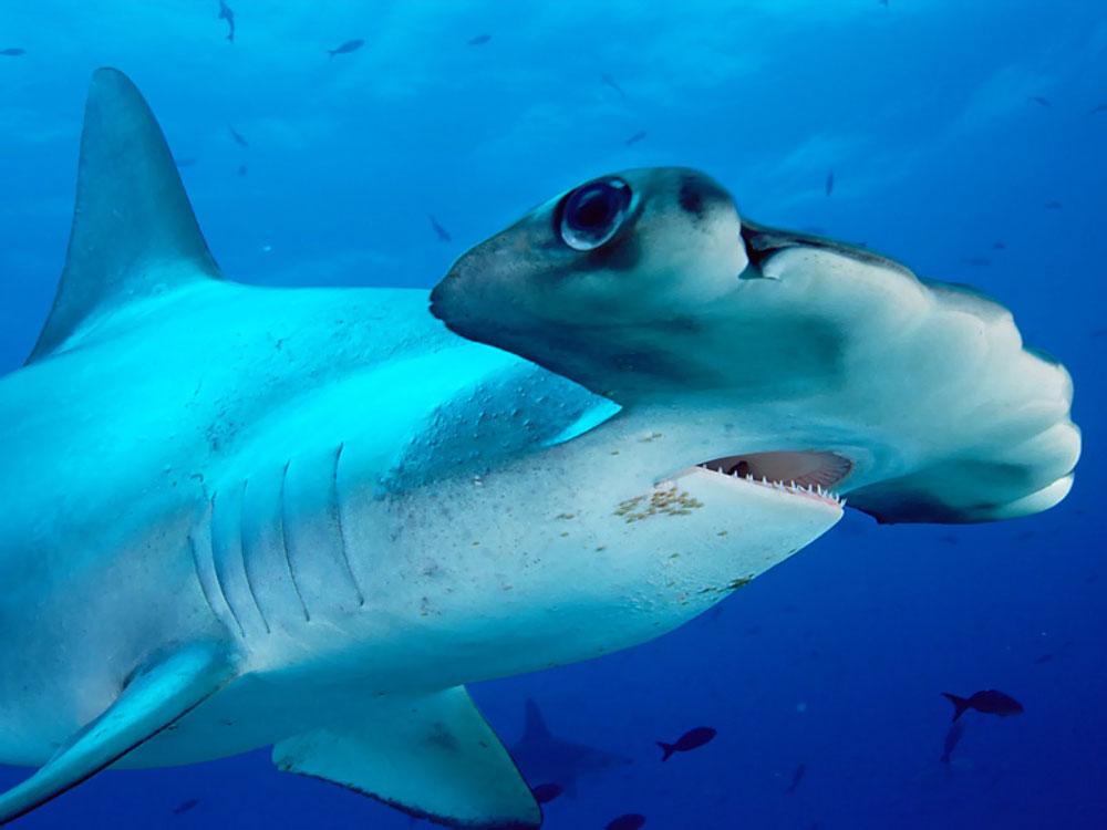 Curiosidades del reino animal: La cabeza del tiburón martillo