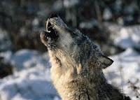 Binatang binatang yang mengoptimalkan suara...!!!