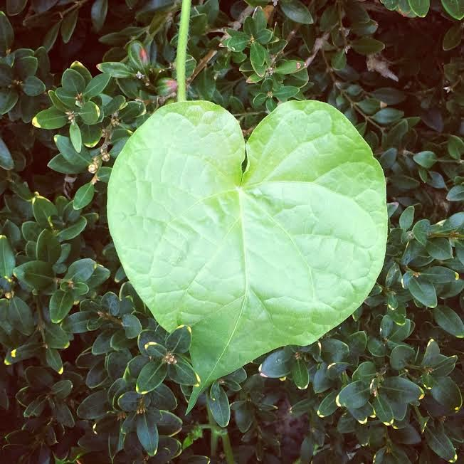 Leaf heart poking out of a bush