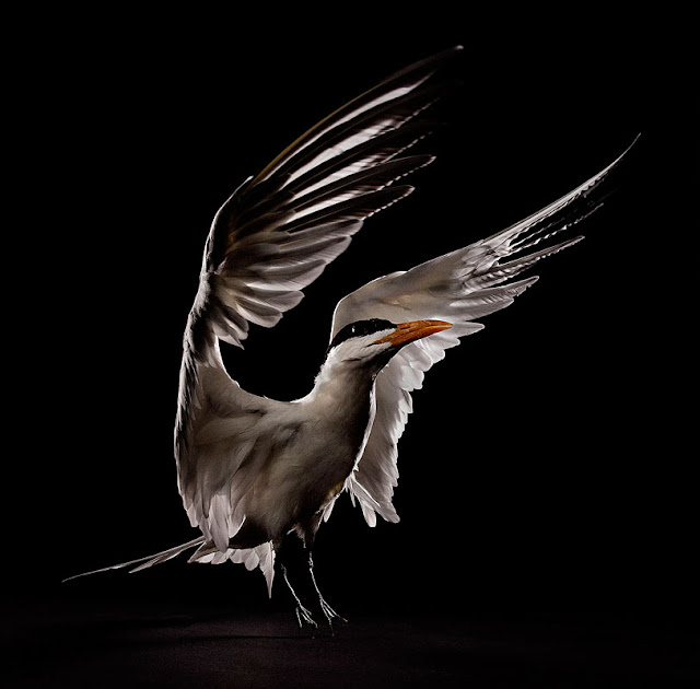 aves, supervivientes, Bob Croslin, fotografia, Grounded, Winged, Survivors, Florida, Gulf Coast, Royal Tern, Suncoast Seabird Sanctuary