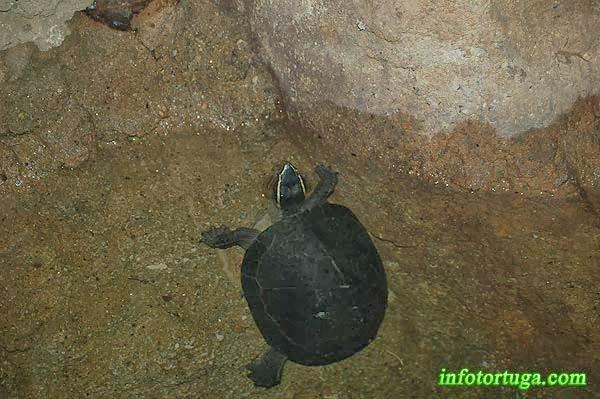 Tortuga caja de Malasia (Cuora amboinensis)