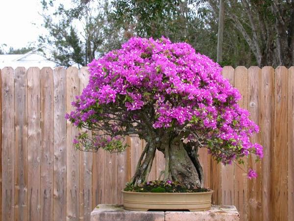 Jardim da terra como cultivar bougainville em vasos for Bouganville in vaso