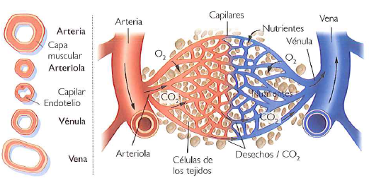 Qué es el aparato circulatorio cerrado? ~ INEVID