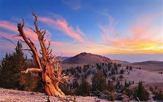 Τα γηραιότερα δέντρα στον κόσμο