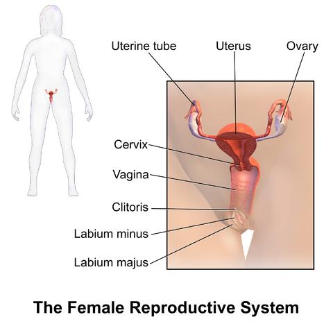 sæd- og ovarieproces