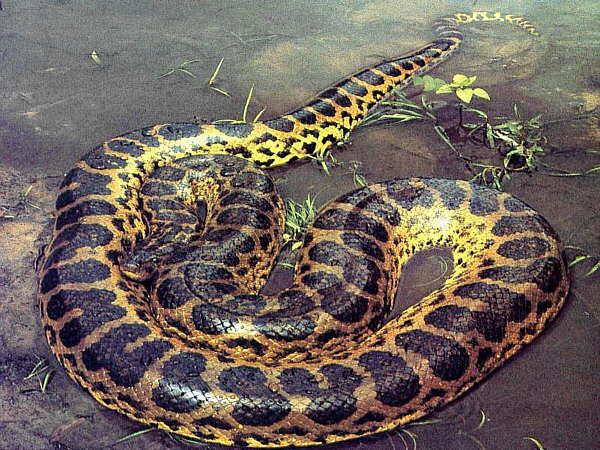 animals world anaconda wallpaper big anaconda snakes