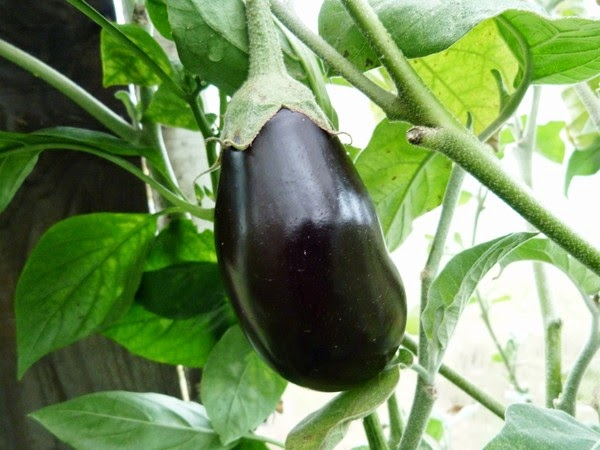 Плод баклажана подрастает