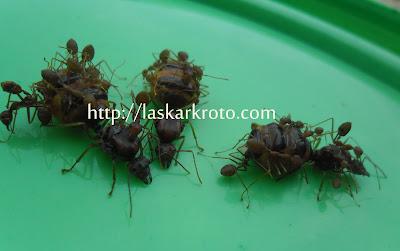 """<img src=""""ratu semut rangrang.jpg"""" alt=""""ratu semut rangrang untuk ternak kroto produk republik kroto"""">"""