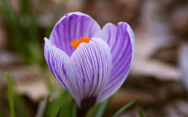 Paarse krokus in de lente