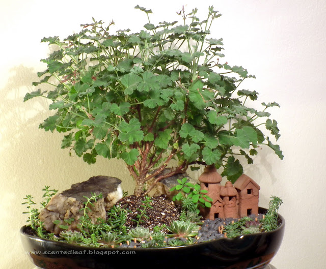 Saikei / Miniature Garden with Apple Nutmeg Scented Pelargonium for 2011 Thanksgiving Day