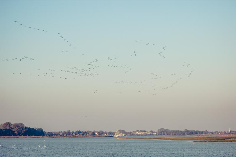 Fliegende Kraniche im Sonnenuntergang über Zingst