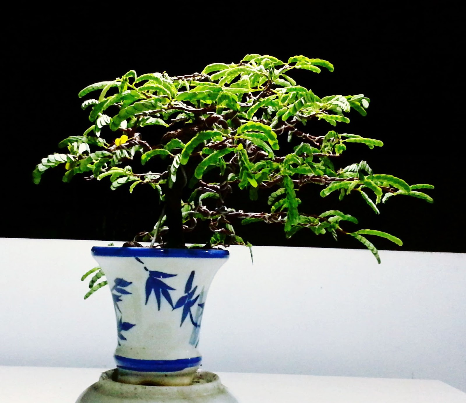 Johanes Goh Bonsai StudioCom Plant From The Seed Tamarindus