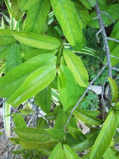 daun sirsak, sirsak, gambar daun sirsak, manfaat daun sirsak, pohon sirsak