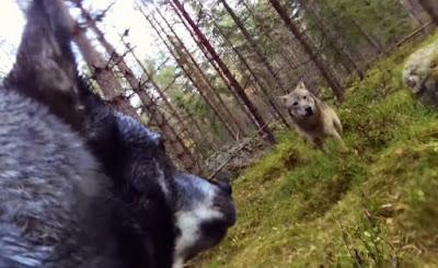 go pro su cane attaccato da lupi