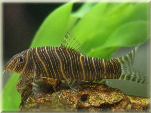 Zebra Loach Fish Pictures