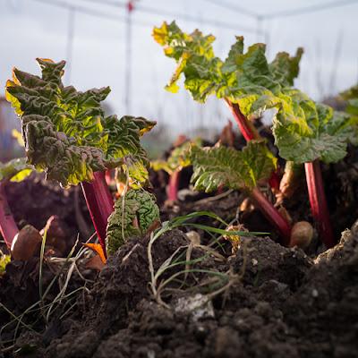 Very Early Rhubarb, 2013 © Graham Dew
