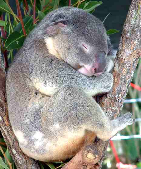 Koala Bear Australia Cairns sleeping in tree