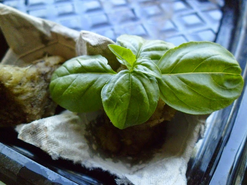 Rooting basil cutting