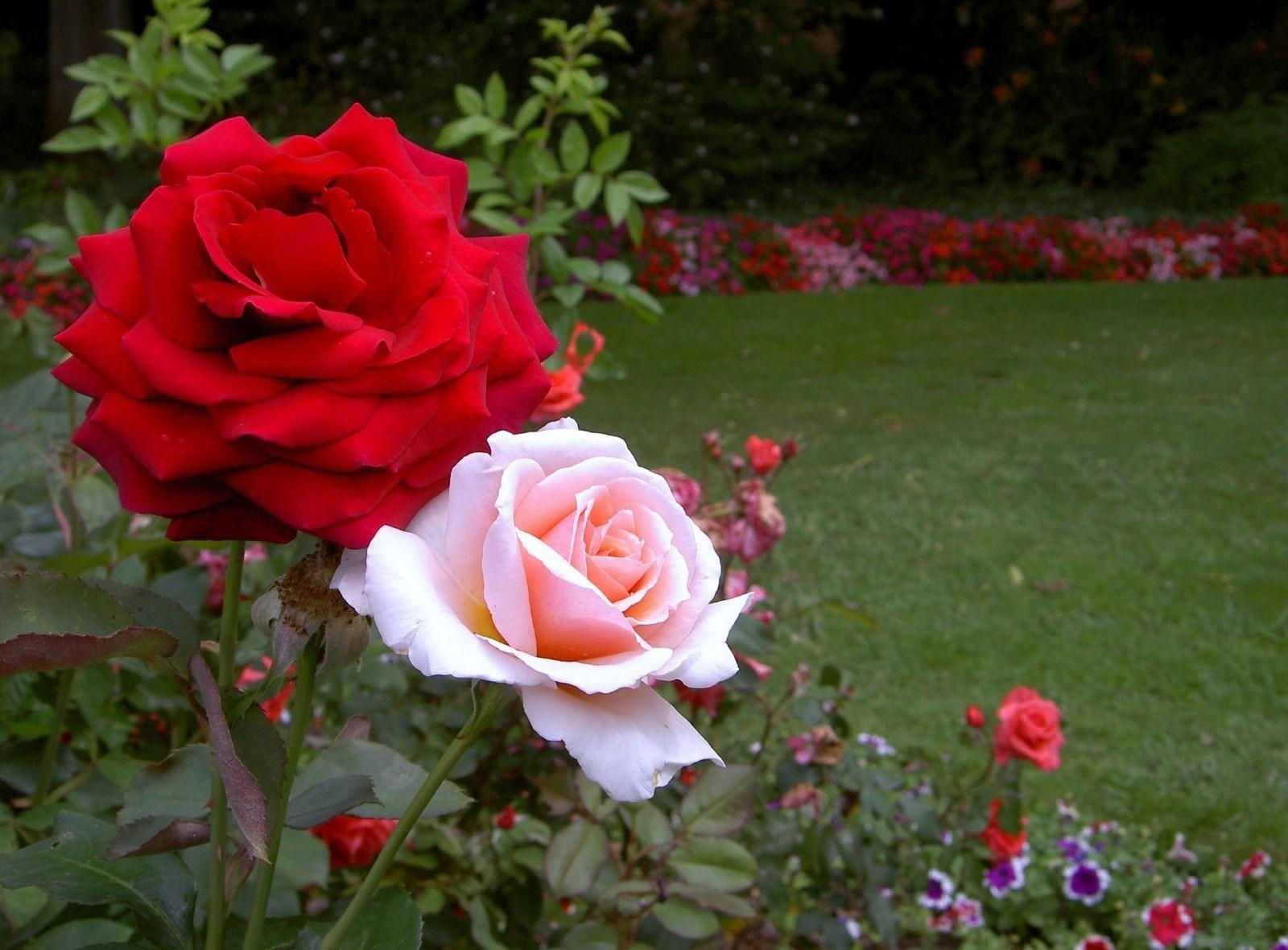 Rose Flower Garden Flower Hd Wallpapers Images