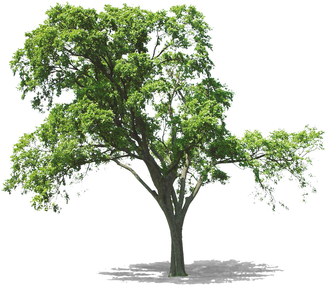 Lespngenfolies: PNG arbres