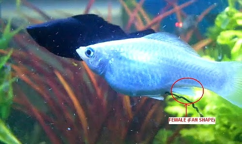 Fish Zone Difference Between Male And Female Molly Fish