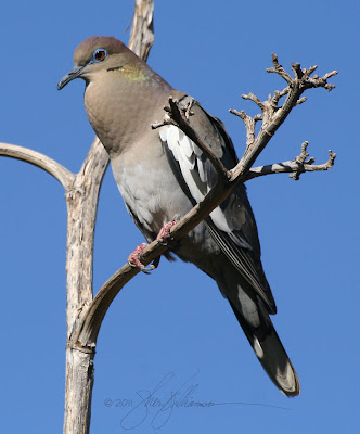 White-wingd Dove singing
