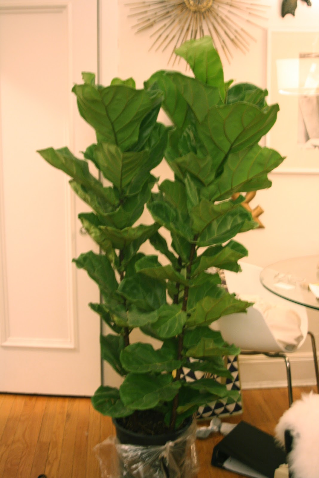 fiddle leaf fig tree from Gethsemane