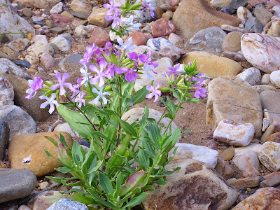 Soapwort (Saponaria Officinalis) Overview, Health Benefits, Side effects