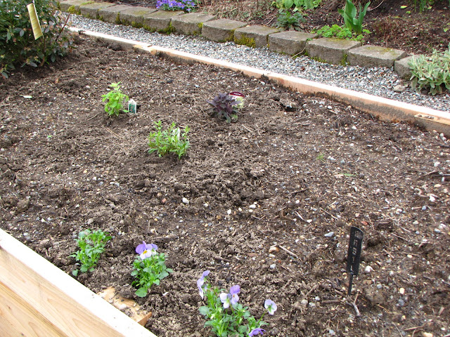 I planted Hyssop Purple Sage and Pineapple Sage together