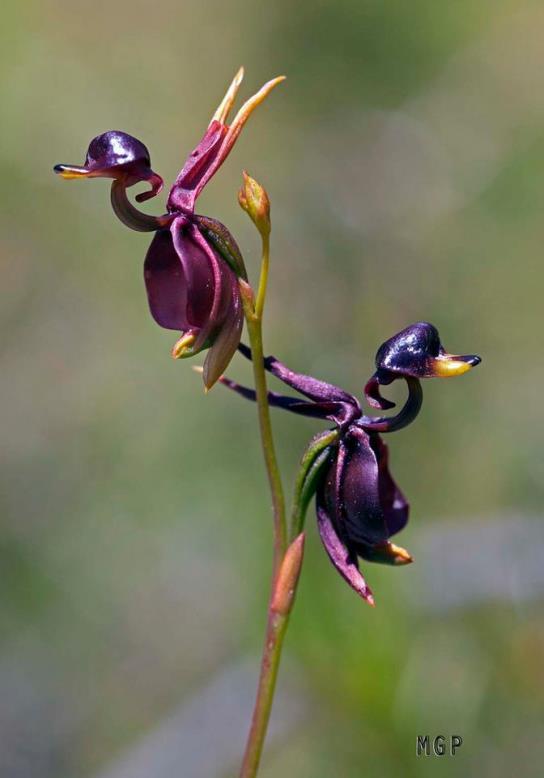 Orquídeas, Extrañas