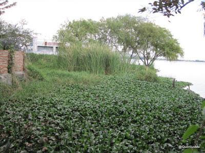 Lirio y Tule a la orilla de la laguna de Cajititlán