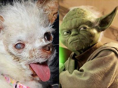 yoda el perro mas feo del mundo 2011