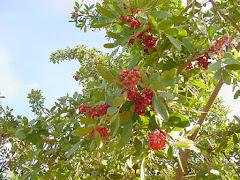 Frutos da aroeira-vermelha (Schinus terebinthifolius Raddi)