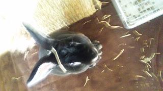 頭に牧草が付いているうさぎ、ミニレッキス