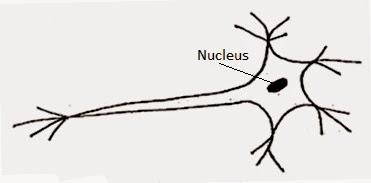 Image result for make a sketch of the human nerve cell NCERT