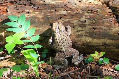 Bufo borealis – Western Toad