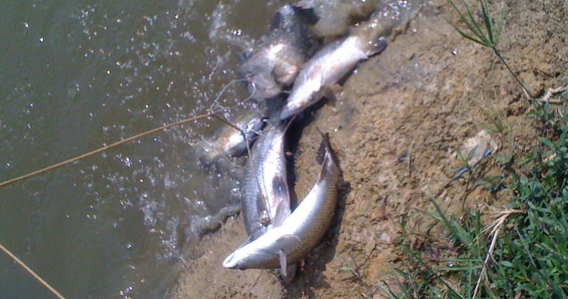 Cara Memancing Ikan Siakap