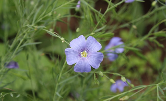 Flax Flowers Pictures