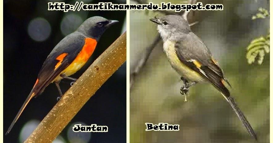 burung mantenan sepah jantan dan betina mantab juga