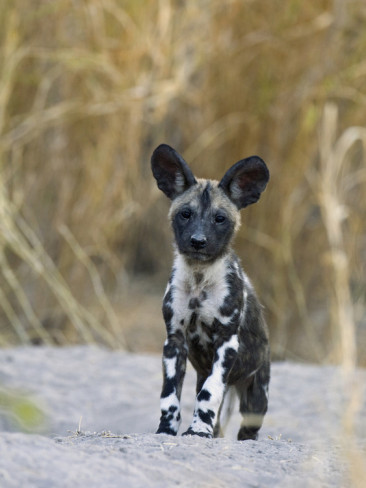 Baby african wild dogs